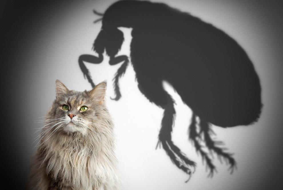 anti puce chat tous les traitements qui marchent en 2019. Black Bedroom Furniture Sets. Home Design Ideas