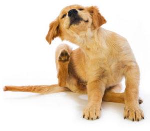 chien infesté de puces