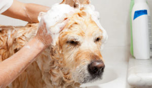 shampoing anti-puce chien