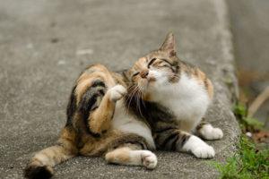 traitement anti-puce pour chat