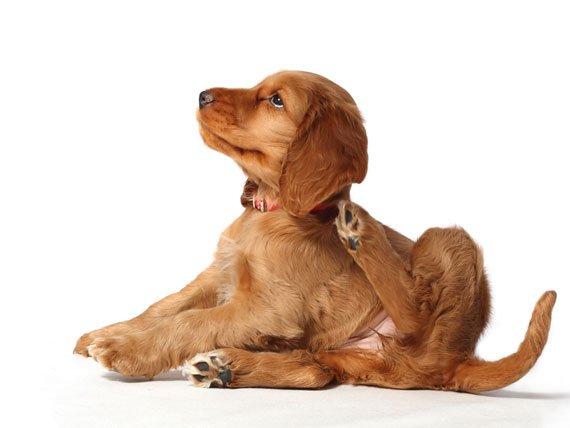 traitement anti-puce pour chien