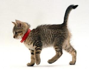 collier anti-puce chaton