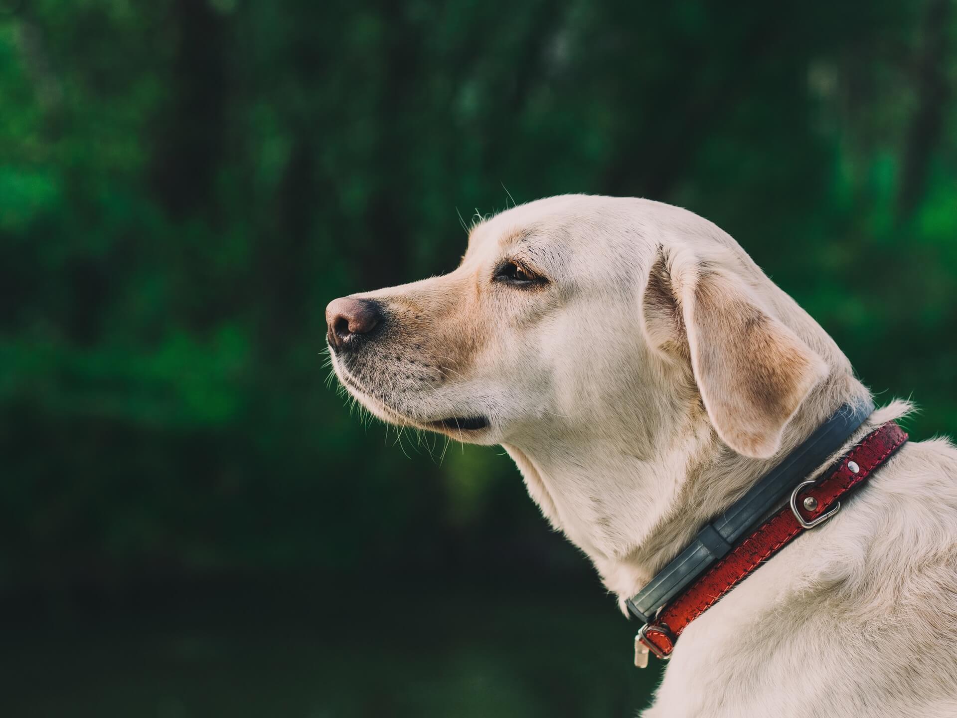 collier tiques pour chiens